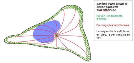 schéma centrosome actine